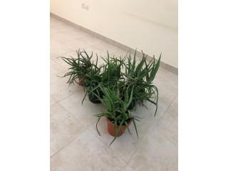 Aloe Vera pot sale