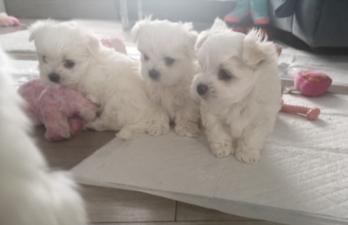 pomerania-puppies-for-new-home-big-2