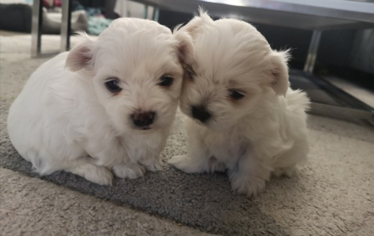 pomerania-puppies-for-new-home-big-0