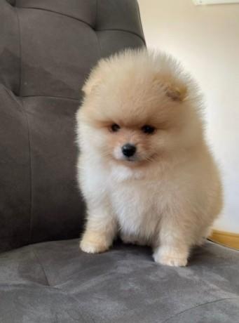pomerania-puppies-for-adoption-big-3