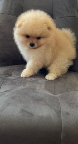 pomerania-puppies-for-adoption-big-2