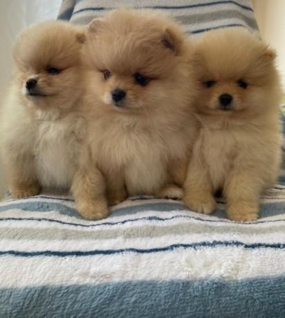 pomerania-puppies-for-adoption-big-0