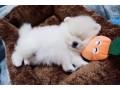 pomerania-puppies-for-sale-small-1
