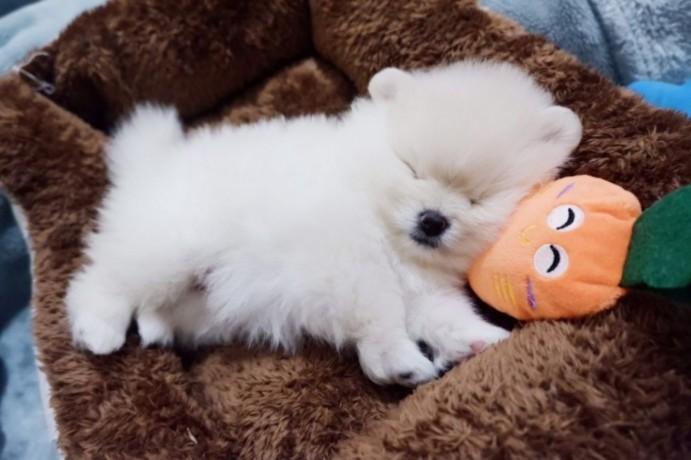 pomerania-puppies-for-sale-big-1