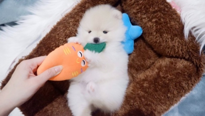 pomerania-puppies-for-sale-big-0