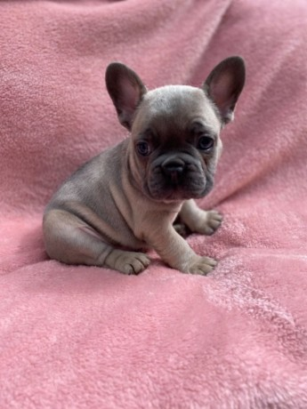 playful-french-bulldogs-available-now-big-0