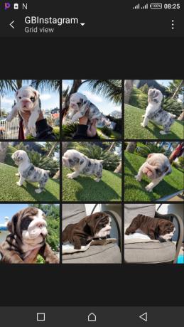 bulldog-puppy-for-free-adoption-big-0