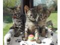 fabulous-savannah-kittens-for-sale-small-0