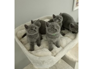 Available British short hair kittens for sale