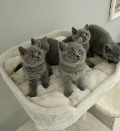available-british-short-hair-kittens-for-sale-big-0