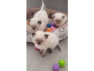 Good Looking Ragdoll kittens for sale