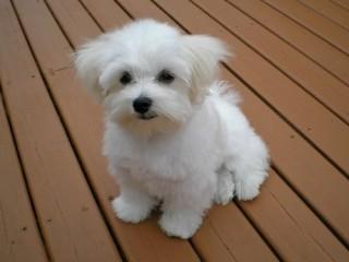 Maltese bichon  puppies for sale