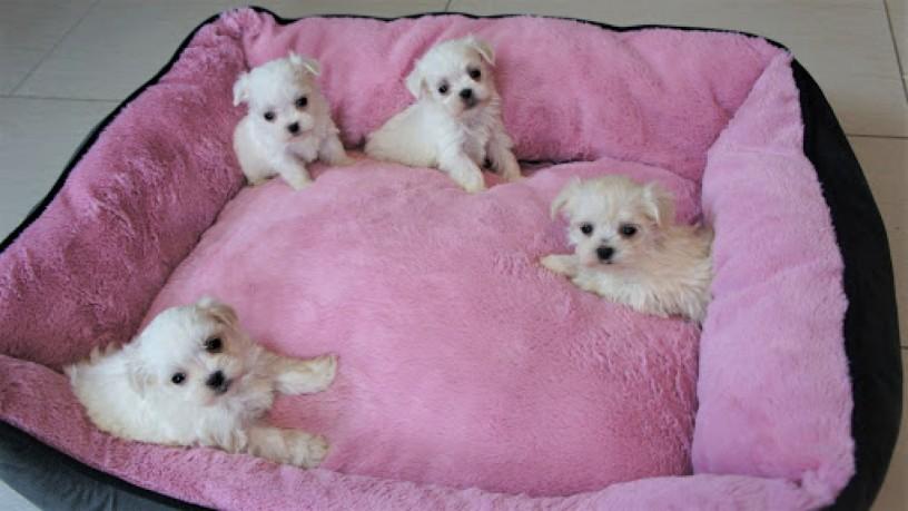 maltese-bichon-puppies-for-sale-big-0