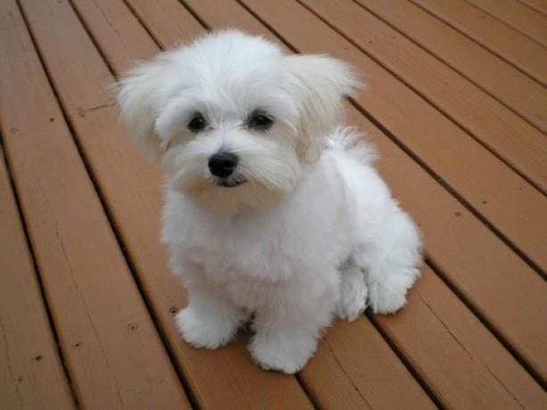 maltese-bichon-puppies-for-sale-big-1