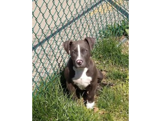 My pit-bull puppies looking for a loving home