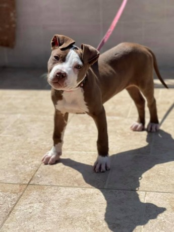 my-pit-bull-puppies-looking-for-a-loving-home-big-0