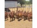 brahman-heifers-bulls-whatsapp-27631267231-small-3