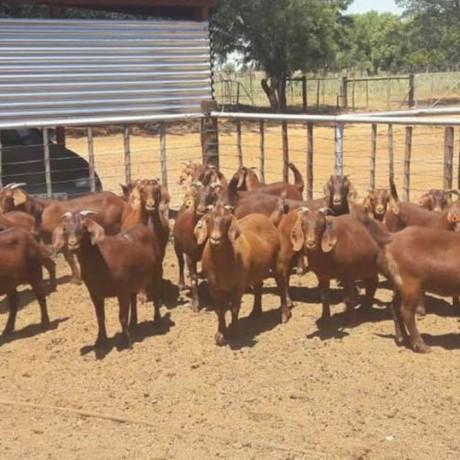 brahman-heifers-bulls-whatsapp-27631267231-big-3