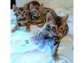 lovely-stunning-bengal-kitten-available-small-1