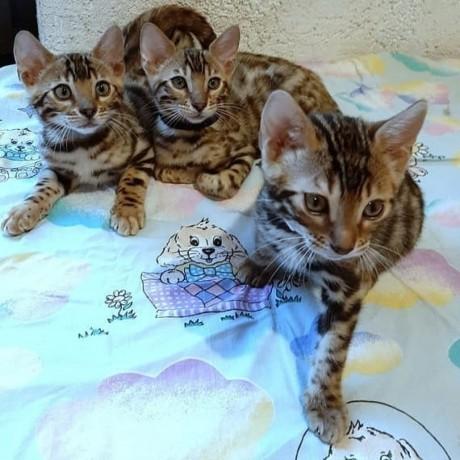 lovely-stunning-bengal-kitten-available-big-1