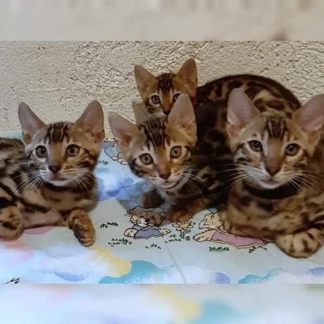 lovely-stunning-bengal-kitten-available-big-0