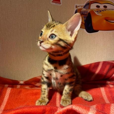 lovely-stunning-bengal-kitten-available-big-2
