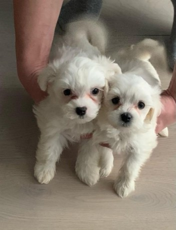 lovely-adorable-maltese-puppy-available-big-2