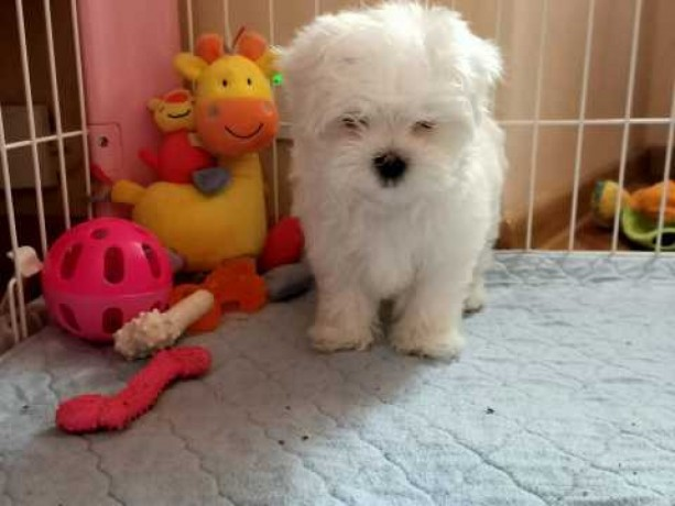 lovely-adorable-maltese-puppy-available-big-1