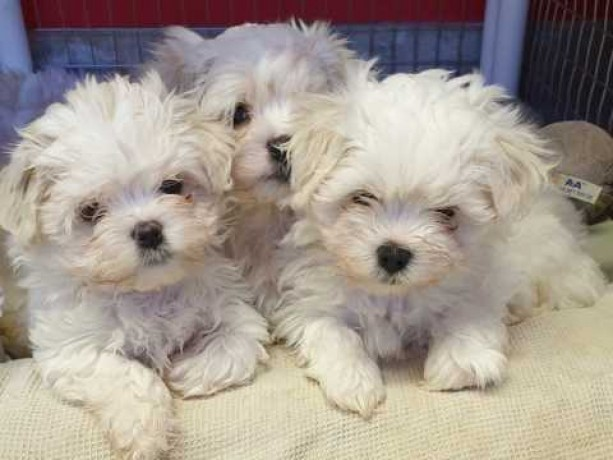 lovely-adorable-maltese-puppy-available-big-0