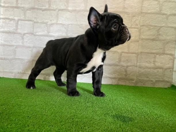 amaizing-stunning-french-bulldog-avilable-big-1