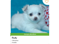 king-charles-cavier-puppies-small-1