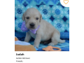 king-charles-cavier-puppies-small-2