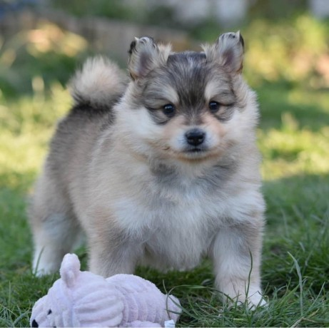 pomsky-puppies-available-now-big-0