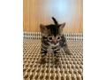 beautiful-bengal-kittens-small-2