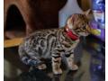 beautiful-bengal-kittens-small-1