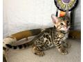 beautiful-bengal-kittens-small-0