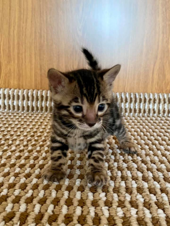 beautiful-bengal-kittens-big-2