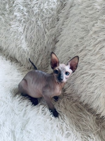 sphynx-and-bengal-kittens-available-for-adoption-big-0
