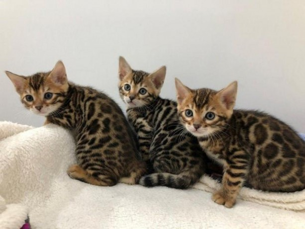 sphynx-and-bengal-kittens-available-for-adoption-big-1