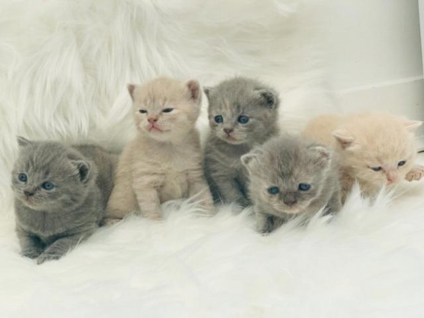british-shorthair-kittens-available-for-sale-big-0