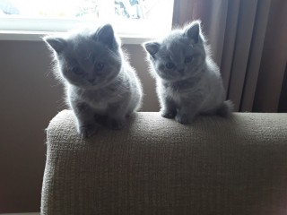 Cute British short hair kittens