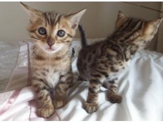 TICA Registered British Short Hair Kittens!!