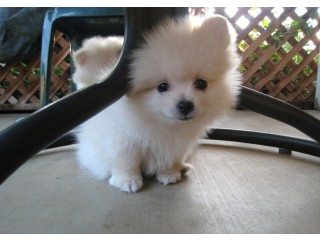 Pure white male and female Pomeranian puppies