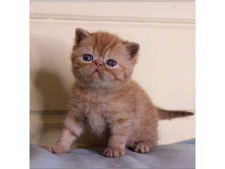 Exotic Shorthair kitten Available Now