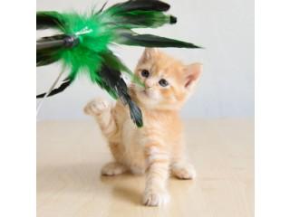 Munchkin Kitten Available