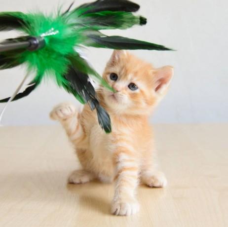 munchkin-kitten-available-big-0