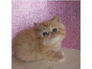 Gorgeous Exotic Shorthair kitten