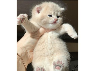Gorgeous British shorthair kitten